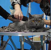 Стрижка | Вычесывание кошек <nobr>от 2 500 руб</nobr>